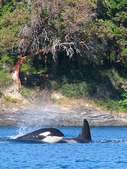 Contact San Juan Cruises Whale Watching Bellingham WA