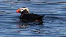 san-juan-cruises-bird-watching-cruise-puffin