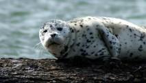 san-juan-cruises-chuckanut-bay-cracked-crab-cruise-harbor-seal