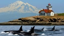 san-juan-cruises-deluxe-whale-watching-tour-mt-baker-orcas-patos-lighthouse