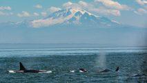 san-juan-islands-whales-mount-baker